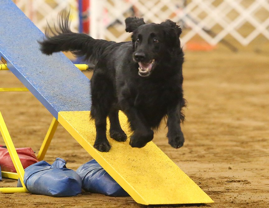 Example of a Flat-coated Retriever competing in Agility.