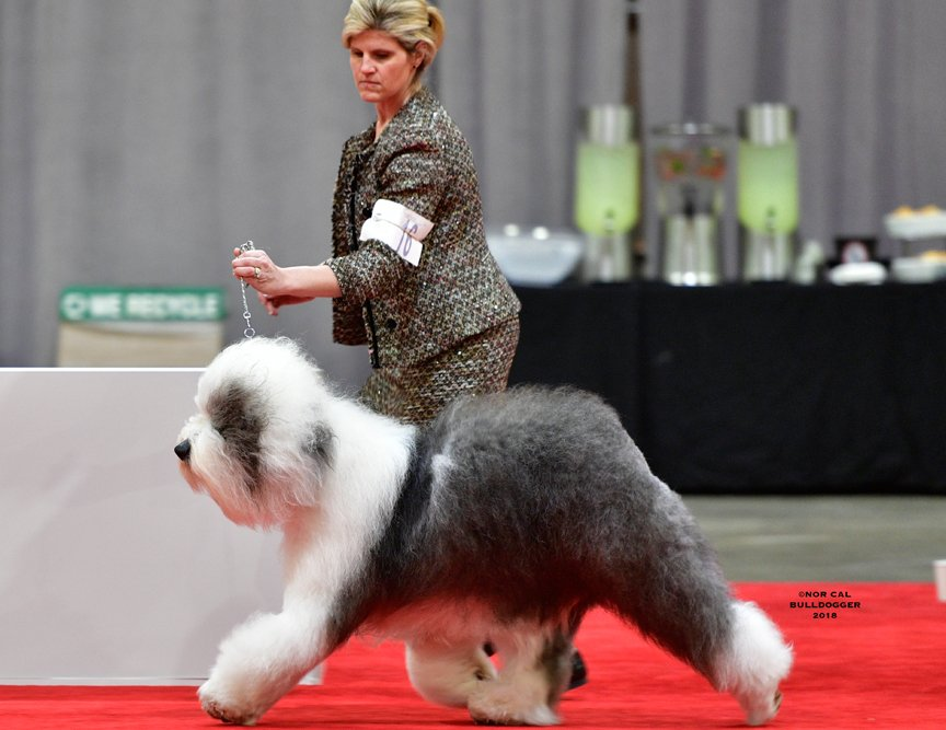 Example of a Sheepdog in Conformation.