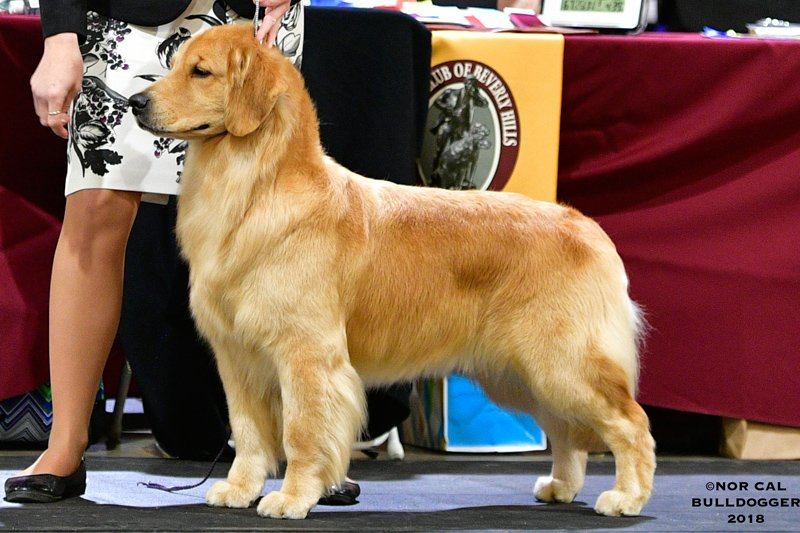 Golden Retriever in the Ring.