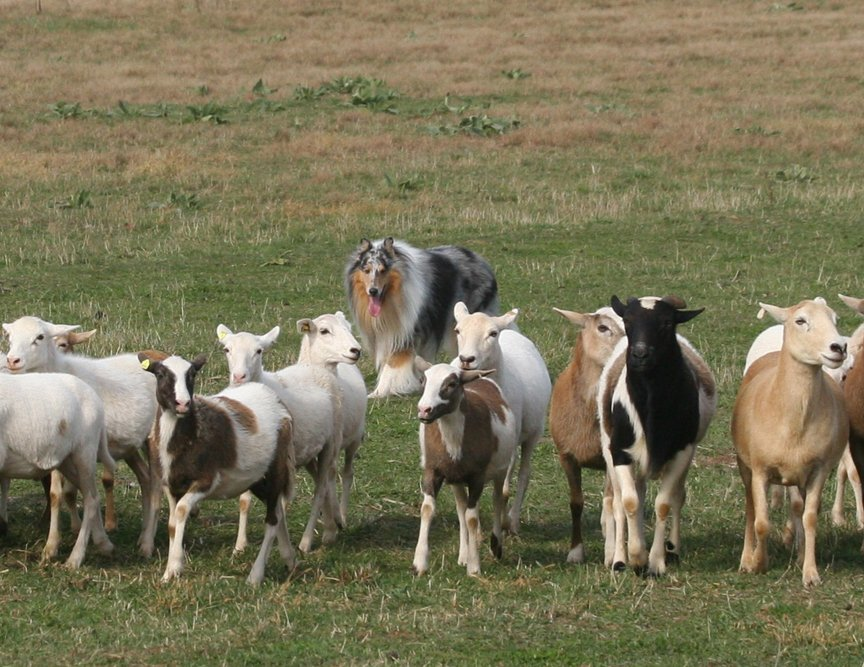 Example of a Collie herding sheep.