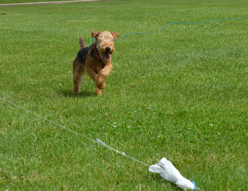 Example of a Lakeland Terrier doing Lure Coursing.