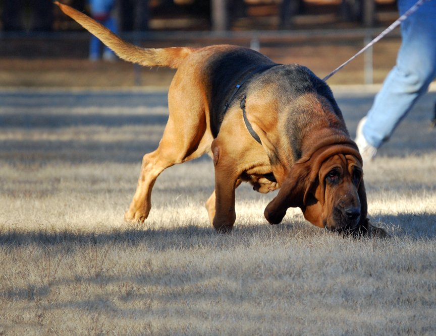 Example of a Bloodhound doing Scent Work.