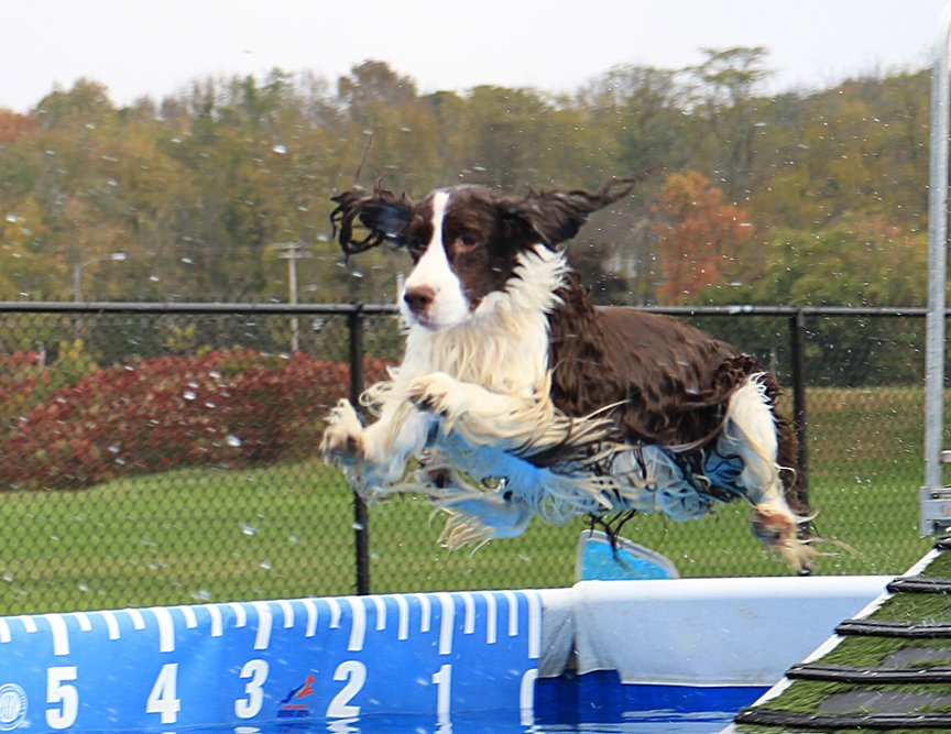 Example of a spaniel jumping in the water.