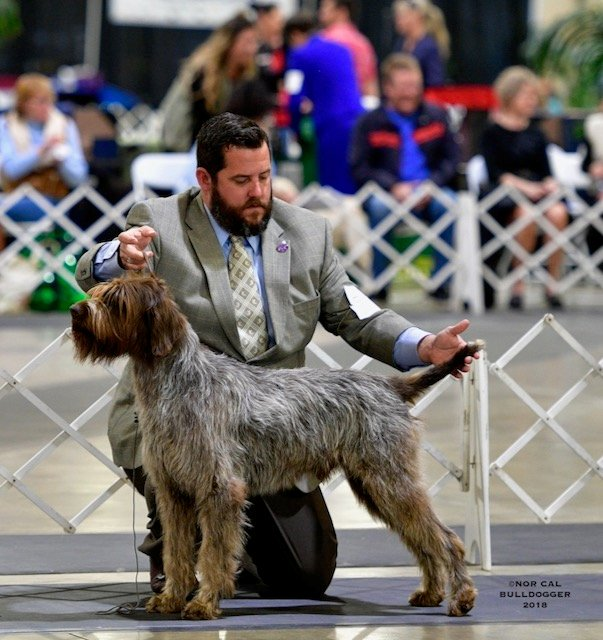Wirehaired Pointing Griffon in the show ring.