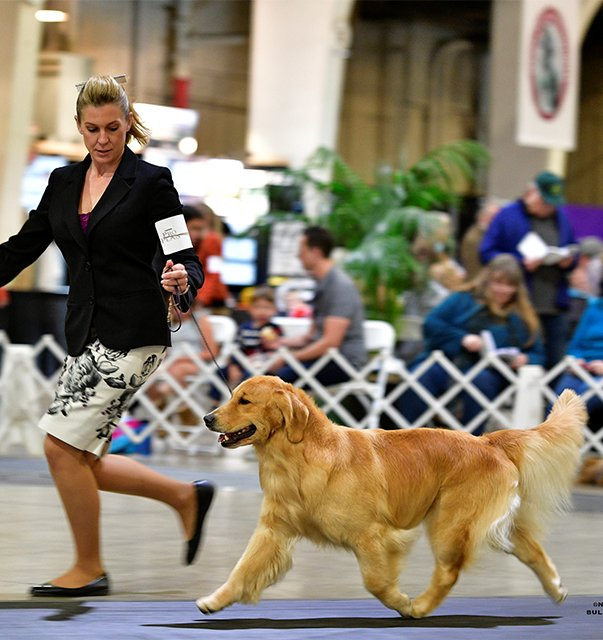 Golden Retriever in the Show ring.
