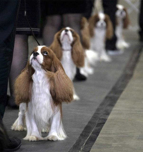 Cavalier King Charles Spaniels lined up in the ring.