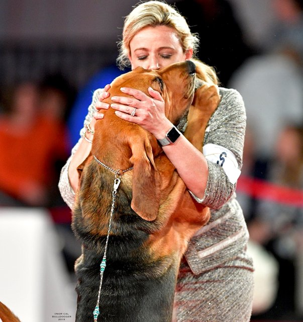 Bloodhound getting a kiss.