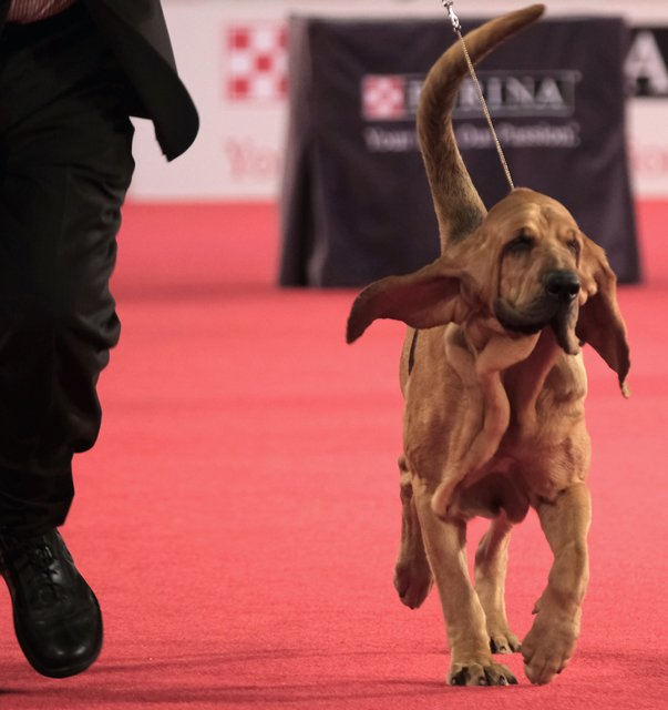 Bloodhound on the red carpet.