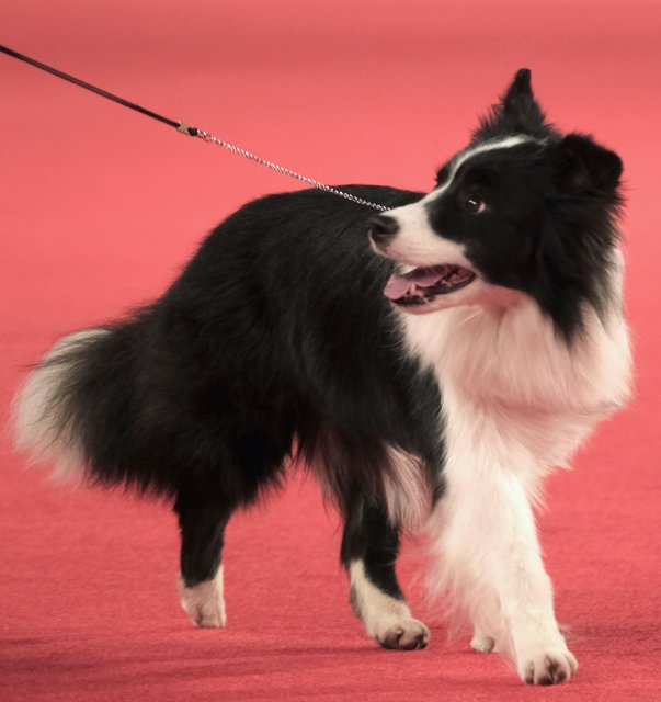 Border Collie on the red carpet.
