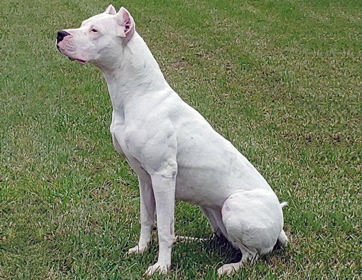 Example of a Dogo Argentino.