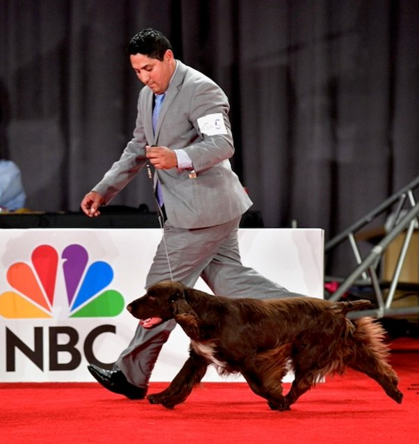 Field Spaniel on the red carpet.