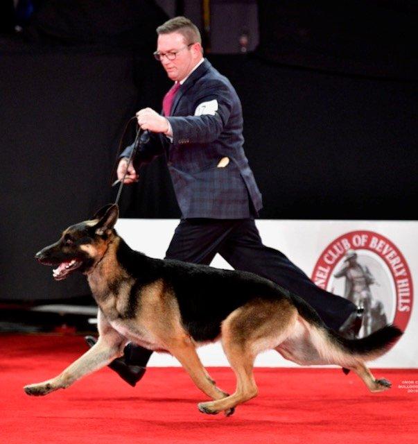 German Shepherd Dog on the red carpet.