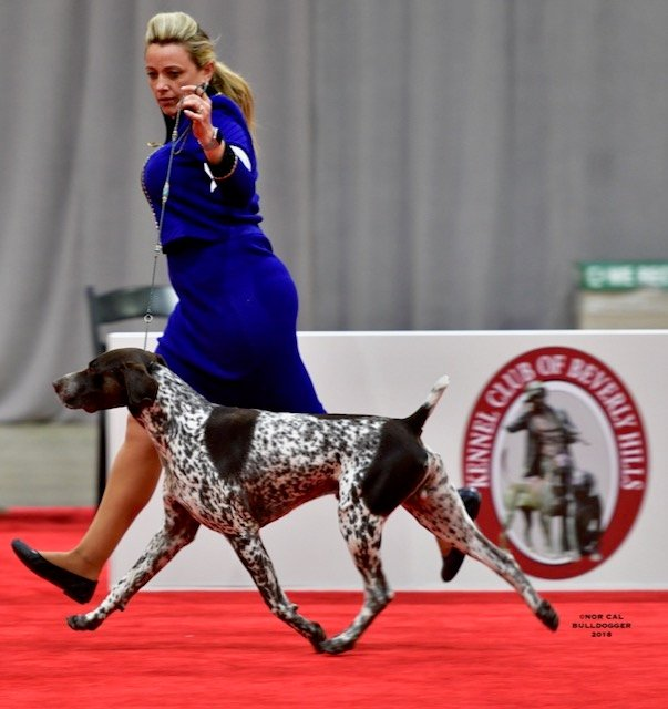 German Shorthaired Pointer on the red carpet.