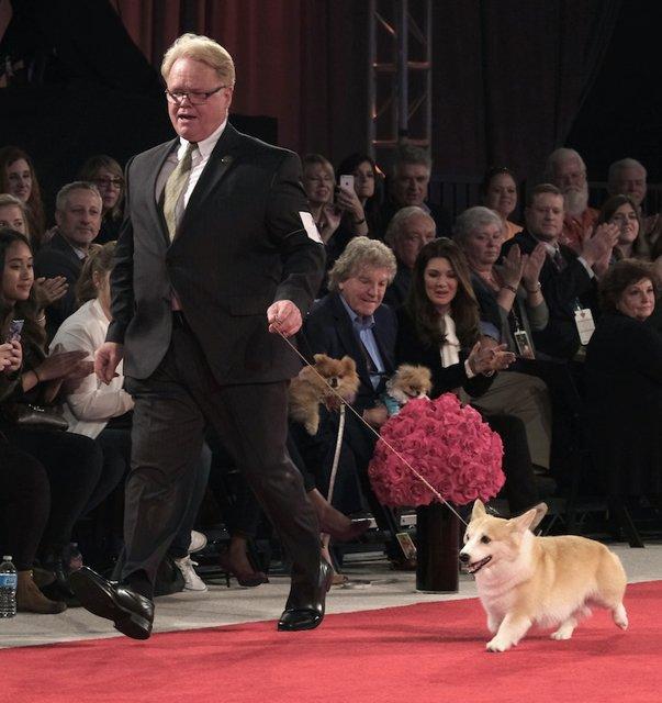 Handler and Corgi on the red carpet.