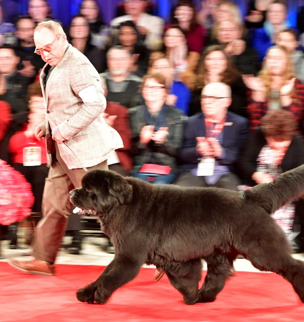 Handler and Newfoundland on the red carpet.