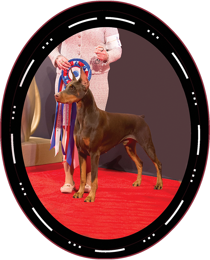 "2017 Best In Show Winner Both Saturday Sunday GCHP CH Fidelis Ripcord ""Rip"" Doberman Pinscher"