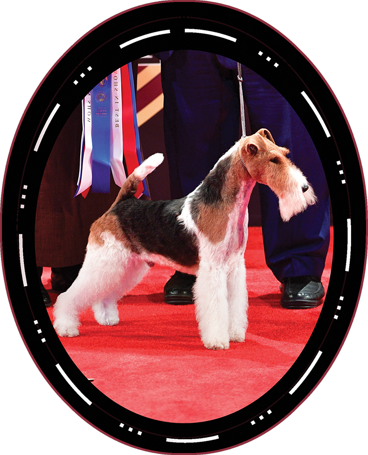 "2018 Best in Show Winner Both Saturday and Sunday GCH CH Kingarthur Van Foliny Home ""King"" Wire Fox Terrier"