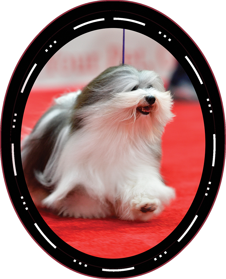 "2019 Best In Show Winner Saturday GCHG CH Oeste's In The Name Of Love ""Bono"" Havanese"