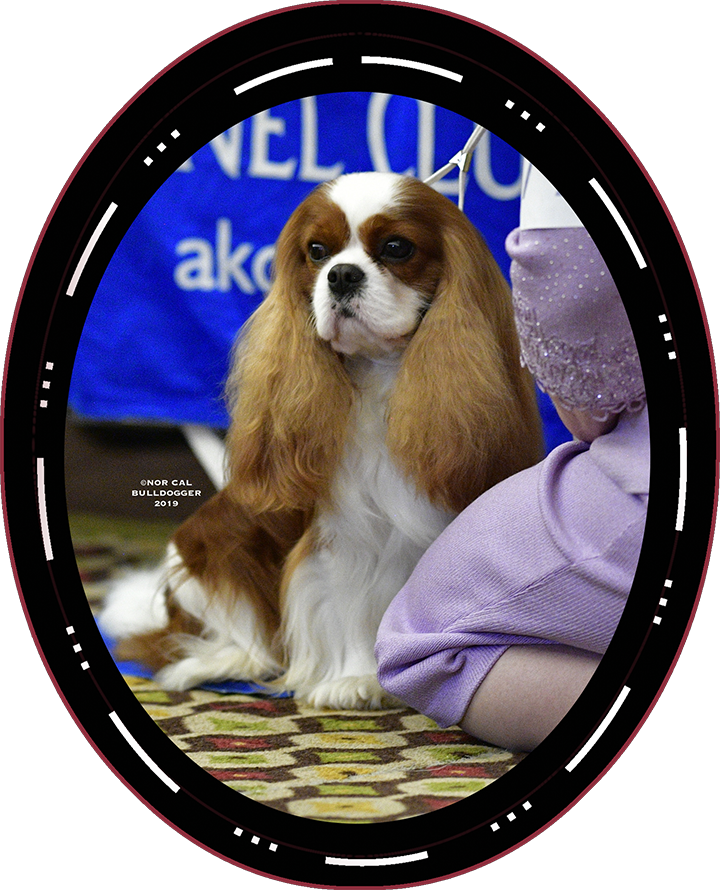 "2019 Best In Show Winner Sunday GCHG CH Brookhaven Here Comes Hogan ""Hogan"" Cavalier King Charles Spaniel"