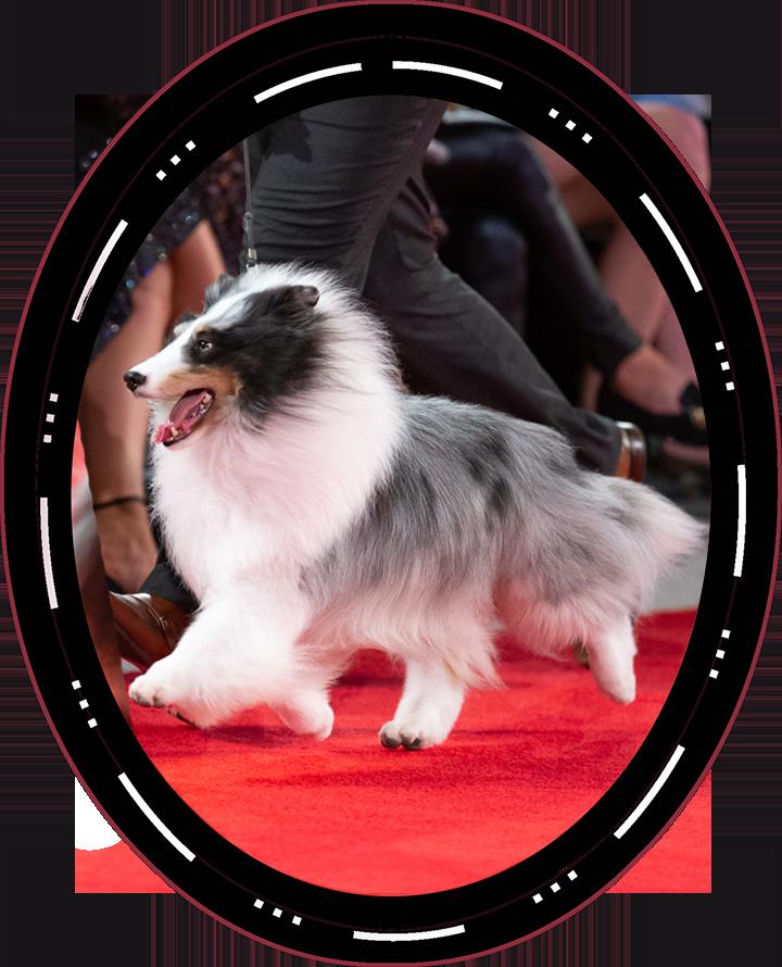 "2020 Best In Show GCHP2 CH Syringa Akadia The Corsair ""Conrad"" Shetland Sheepdog"