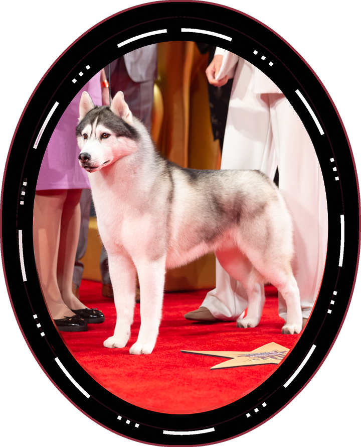 "2020 Best In Show Winner Saturday GCHP CH Sharin Nick Of Dynasty Rc Kennel ""Nick"" Siberian Husky"