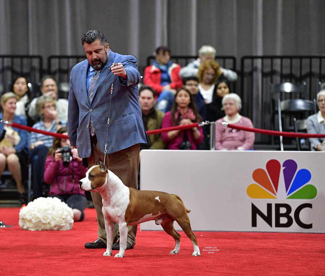 American Staff Terrier