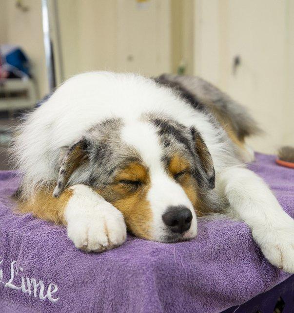 Aussie asleep on the grooming table