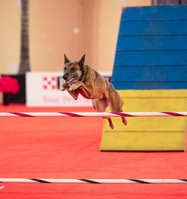 Jumping the high jump in Agility